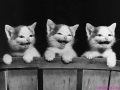 3-kittens-laughing1