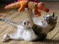 cat-wrestling-a-toy