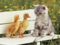 Kitten Ducks