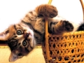 Sideways Basket Cat
