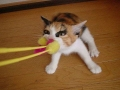 Tug Of War Cat